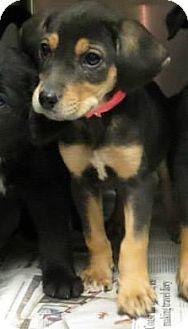 Labrador Retriever Mix Puppy for adoption in Naugatuck, Connecticut - Patchouli