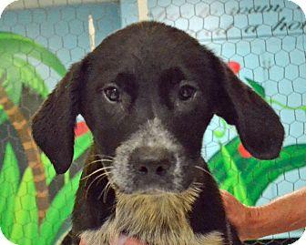 Labrador Retriever/Blue Heeler Mix Dog for adoption in Searcy, Arkansas - Tracie