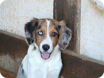 Australian Shepherd/Beagle Mix Puppy for adoption in Liberty Center, Ohio - Huey