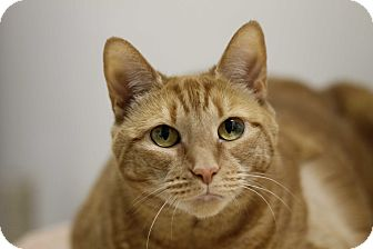 Domestic Shorthair Cat for adoption in North Branford, Connecticut - Paprika (Pumpkin)