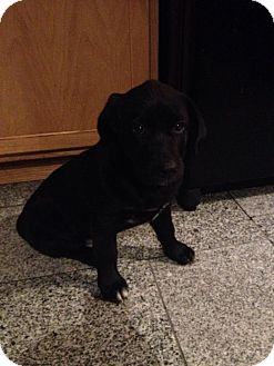 Australian Shepherd Mix Puppy for adoption in ST LOUIS, Missouri - Lucilla/Lucy