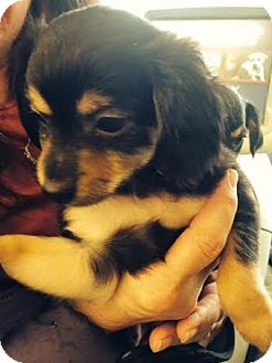 Chihuahua Mix Puppy for adoption in Hainesville, Illinois - Jupiter