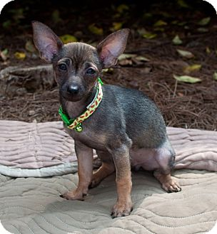 Chihuahua/Terrier (Unknown Type, Small) Mix Puppy for adoption in Atlanta, Georgia - Dash