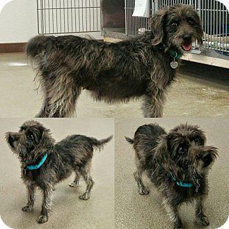 Miniature Schnauzer/Terrier (Unknown Type, Small) Mix Dog for adoption in Phoenix, Arizona - Spring