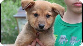 Australian Shepherd/Rottweiler Mix Puppy for adoption in Phoenix, Arizona - Thackery Binx