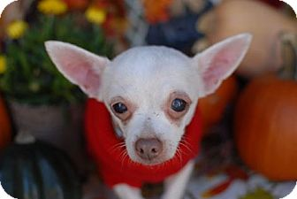 Chihuahua Mix Dog for adoption in San Antonio, Texas - Bitsey