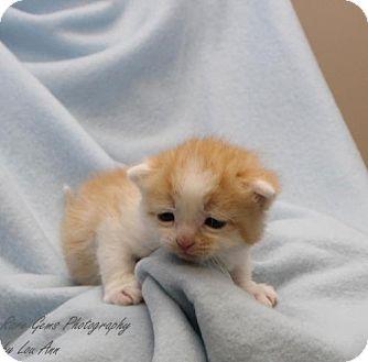 American Shorthair Kitten for adoption in Flora, Illinois - Bitty baby #4