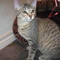 Domestic Shorthair Kitten for adoption in Arlington, Texas - Kylie