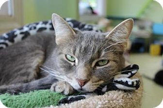Domestic Shorthair Cat for adoption in Indianapolis, Indiana - Babe