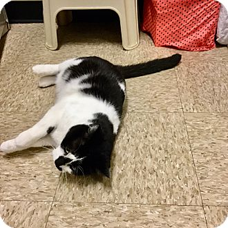 Domestic Shorthair Cat for adoption in Colmar, Pennsylvania - Tickles