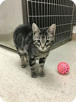 Domestic Shorthair Kitten for adoption in East Hartford, Connecticut - Smookie (in CT)