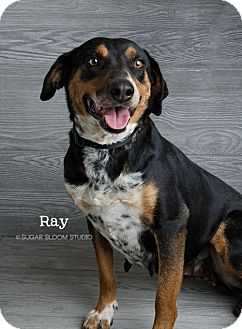 Australian Shepherd Mix Puppy for adoption in Denver, Colorado - Ray