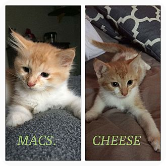 Domestic Longhair Kitten for adoption in Wantagh, New York - Macs