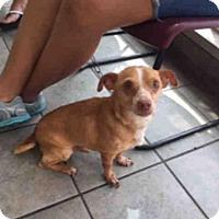 Adopt A Pet :: A435492 - San Antonio, TX