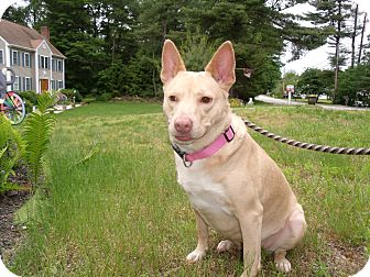 German Shepherd Dog/Labrador Retriever Mix Dog for adoption in Worcester, Massachusetts - ClaricE