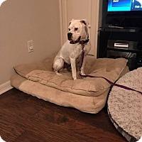 Adopt A Pet :: Petunia - Austin, TX