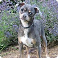 Adopt A Pet :: Chelzie - Westminster, MD