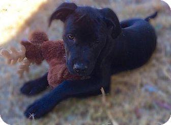 Labrador Retriever Puppy for adoption in Los Banos, California - Emma Bean