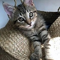 Adopt A Pet :: Shisa - Mississauga, Ontario, ON