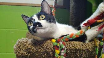 Domestic Shorthair/Domestic Shorthair Mix Cat for adoption in Bolingbrook, Illinois - Lara