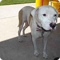 American Bulldog Mix Dog for adoption in Newnan City, Georgia - Lucy