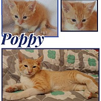 Adopt A Pet :: Poppy - Wichita, KS