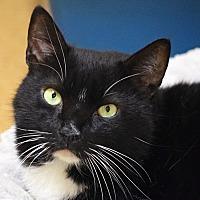 Adopt A Pet :: Black Jack - Norwalk, CT
