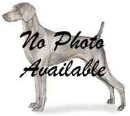Weimaraner Puppy for adoption in Eustis, Florida - Maximus  **ADOPTED**
