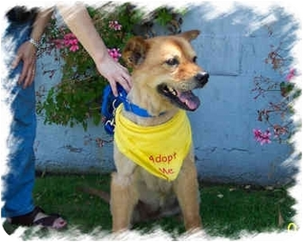 Golden Retriever/Chow Chow Mix Dog for adoption in West Los Angeles, California - Molly