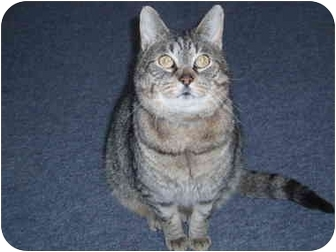 Domestic Shorthair Cat for adoption in Hamburg, New York - Jumpy
