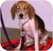 Beagle Dog for adoption in Portland, Ontario - cadeau
