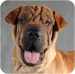 Shar Pei Dog for adoption in Chicago, Illinois - Ernie