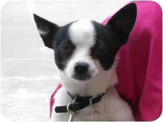 Chihuahua/Terrier (Unknown Type, Small) Mix Dog for adoption in Braintree, Massachusetts - Skeeter