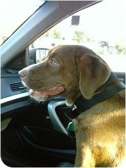 Labrador Retriever Mix Dog for adoption in Houston, Texas - Rook
