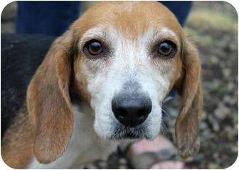 Beagle Dog for adoption in Buffalo, New York - Goldmine: < 20 pounds
