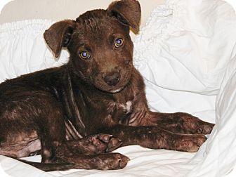 Labrador Retriever/Terrier (Unknown Type, Medium) Mix Puppy for adoption in Houston, Texas - Bear