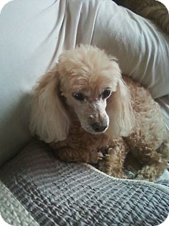 Poodle (Miniature) Dog for adoption in Essex Junction, Vermont - Jazmin and Snickers