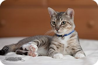 Domestic Shorthair Cat for adoption in St. Louis, Missouri - Benny