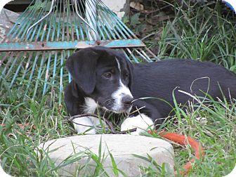 Boxer Mix Puppy for adoption in Hartford, Connecticut - Cassie