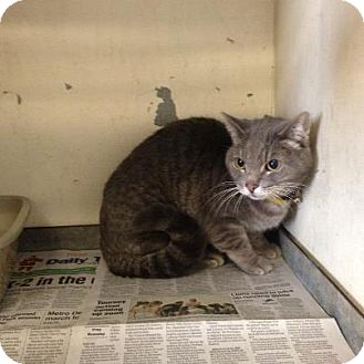 Domestic Shorthair Cat for adoption in Warren, Michigan - Gracie