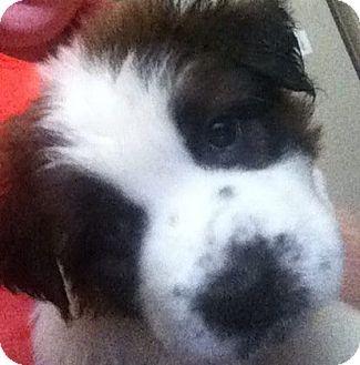 St. Bernard/Labrador Retriever Mix Puppy for adoption in Chilliwack, British Columbia - OSKAR