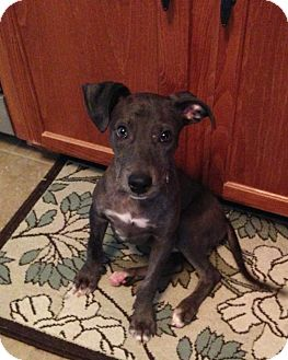 Catahoula Leopard Dog/Labrador Retriever Mix Puppy for adoption in Knoxville, Tennessee - Pi