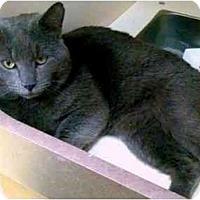 Adopt A Pet :: Ashes - Alexandria, VA