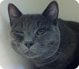 Domestic Shorthair Cat for adoption in Bellingham, Washington - Ao