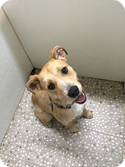 Wirehaired Fox Terrier/Airedale Terrier Mix Dog for adoption in Jersey City, New Jersey - Otis Redding