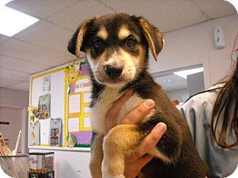 Labrador Retriever/Rottweiler Mix Puppy for adoption in Fort Walton Beach, Florida - Edgar
