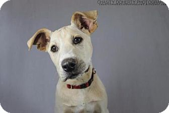 Golden Retriever/Labrador Retriever Mix Dog for adoption in Boston, Massachusetts - Zero