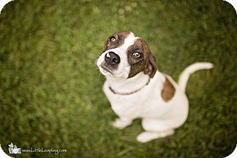 Pointer/Beagle Mix Dog for adoption in Manhattan, Kansas - Coco