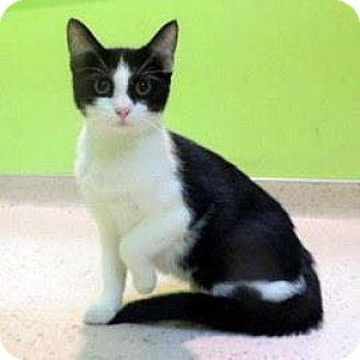 Domestic Shorthair Cat for adoption in Janesville, Wisconsin - Picatso