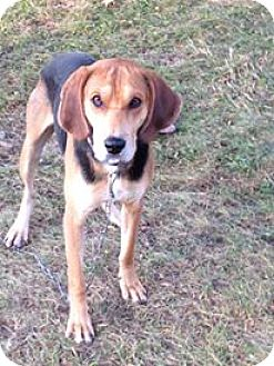 Coonhound/Hound (Unknown Type) Mix Dog for adoption in Caledon, Ontario - Billy Bob